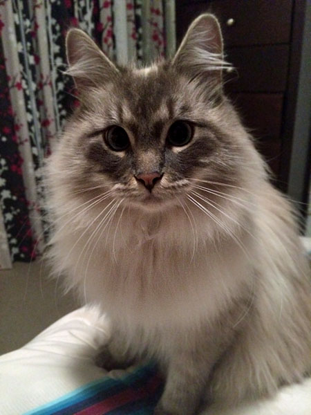 Blue lynx point Siberian cat Stoli at 19 months old