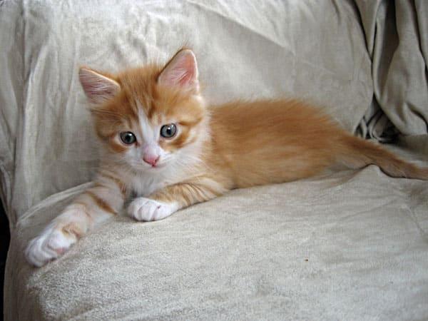 Male ginger Siberian kitten Barney-Remy | Seacliffe SiberiansSeacliffe ...