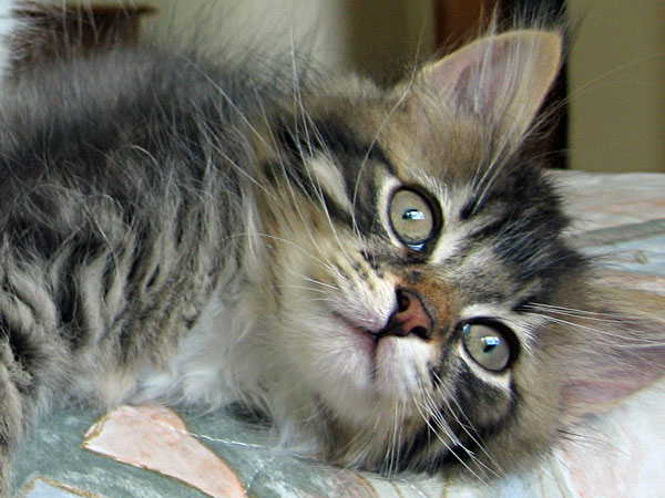 Siberian kitten Biko at 10 weeks old