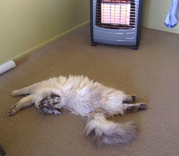 Siberian male cat Stoli keeps warm