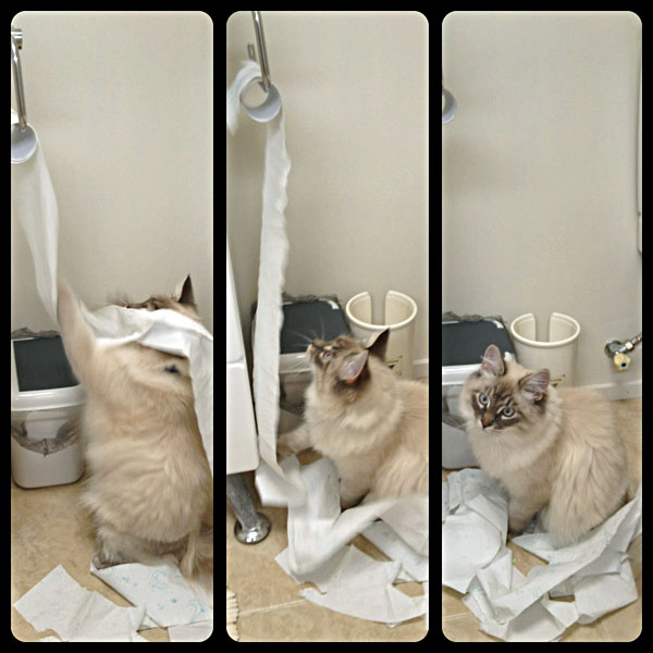 Siberian kitten Stoli rearranges the toilet paper