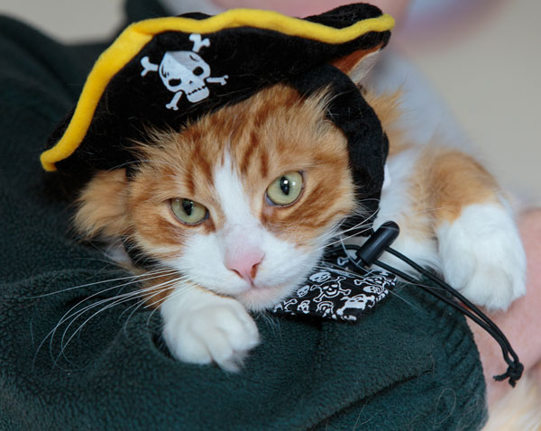 Siberian cat Remy in pirate hat