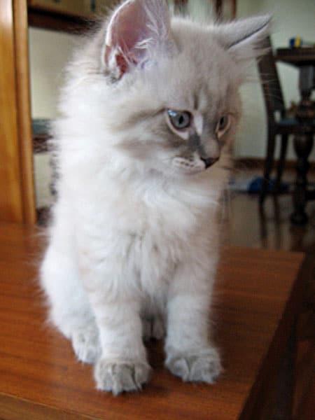 Siberian kitten Bailey
