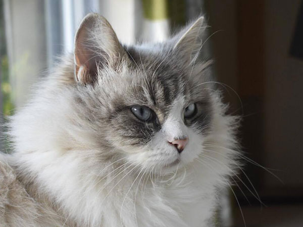Bluepoint Siberian female cat Sapphire, May 2017