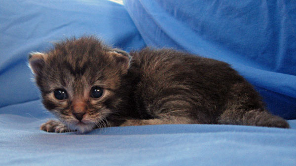 Female Siberian kitten Cleo at 15 days old