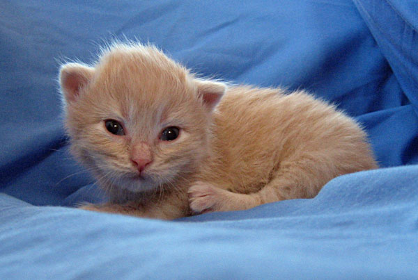 Male Siberian kitten Cosmo at 15 days old