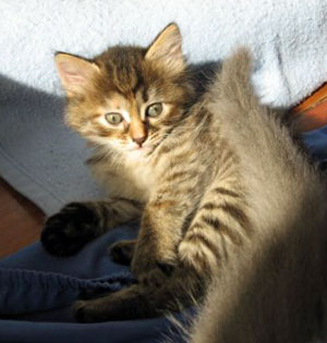 Female Siberian kitten Coco