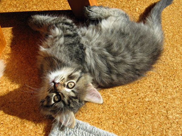 Female Siberian kitten Cleo at 7 1/2 weeks old