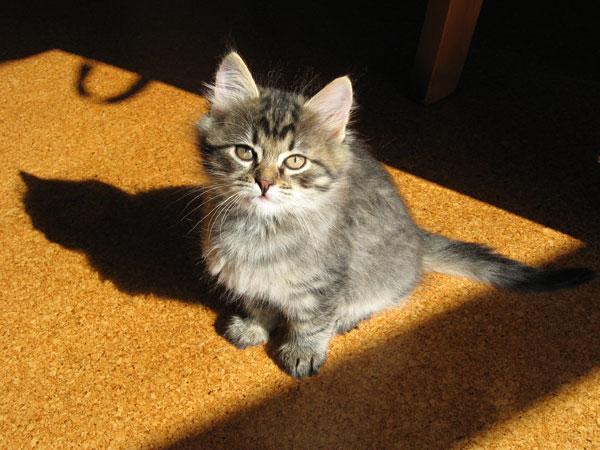 Female Siberian kitten Cleo at 7 1/2 weeks old