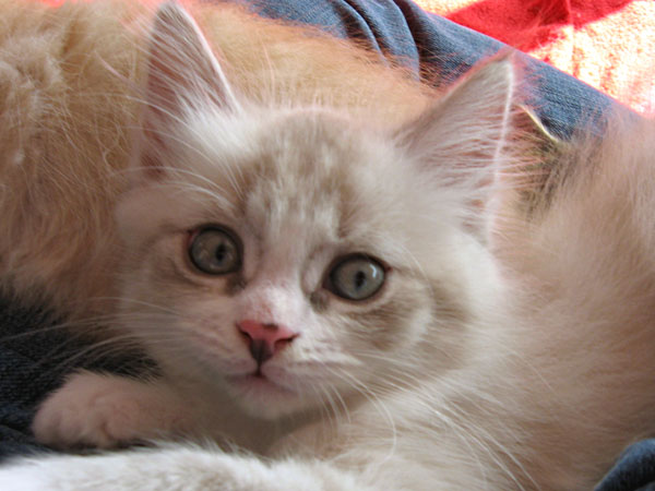 Female Siberian Kitten Catia at 7 1/2 weeks old