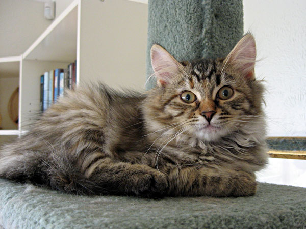 Female Siberian kitten Coco at 14 weeks old, 5 July 2013.