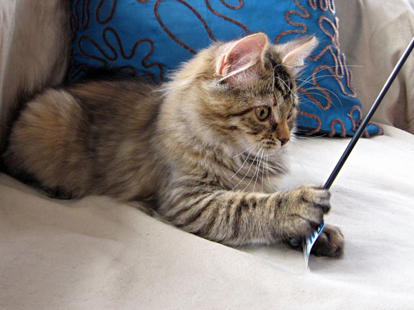 Female Siberian kitten Coco plays with a new toy