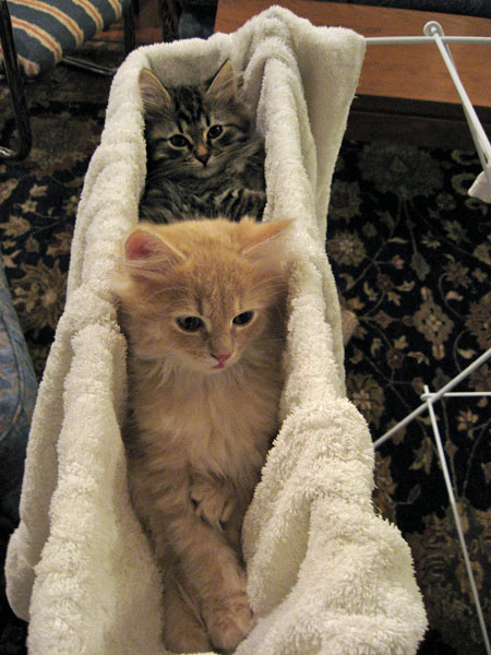 Cosmo (front) and Cleo in their cosy towel hammock.