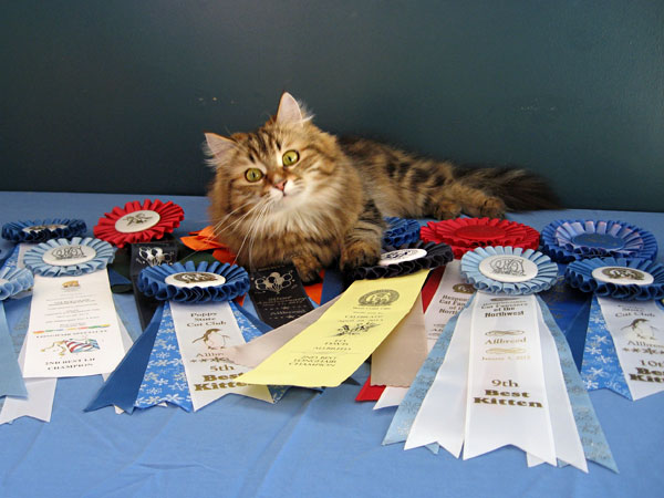 Grand Champion female Siberian cat Cecilia with some of her show ribbons