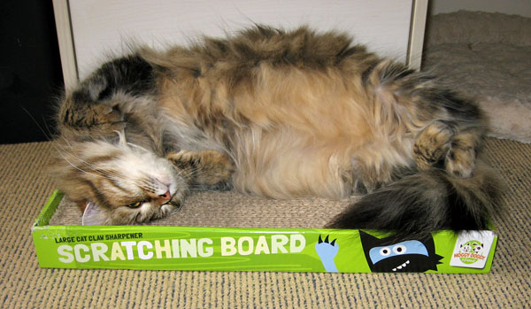 Pregnant Siberian cat Cecilia tries to get comfortable