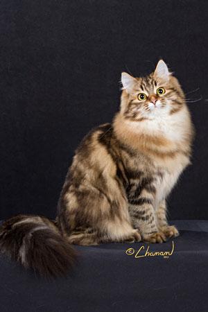 Female Siberian kitten GC Kotchera Cecilia Seacliffe