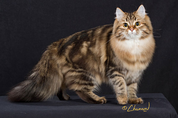 Female Siberian cat GC Kotchera Cecilia Seacliffe