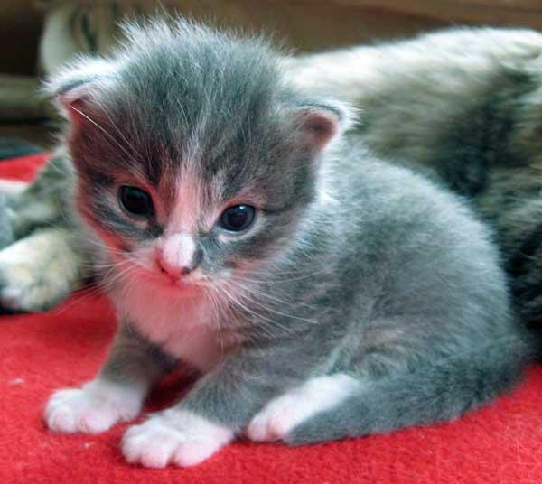Siberian kitten Dougal at 16 days old, 5 November 2013