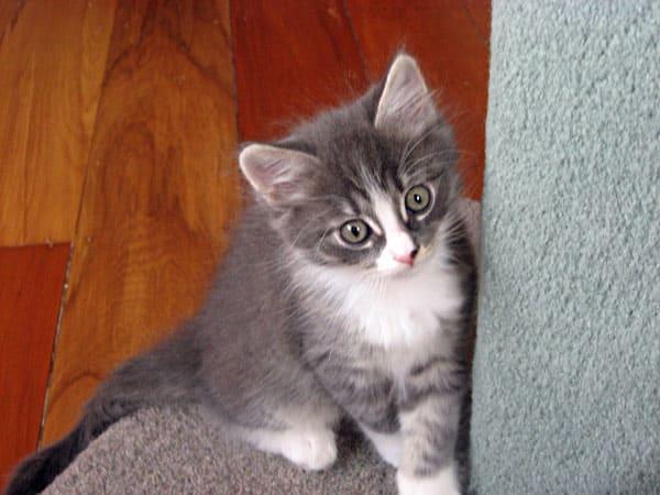 Male Siberian kitten Dougal