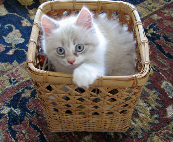 Siberian kitten Daphne at 8 weeks old,