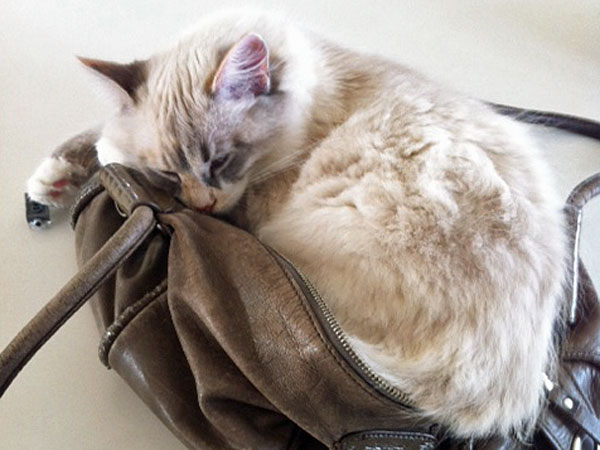 Sasha loves relaxing on her mum's handbag