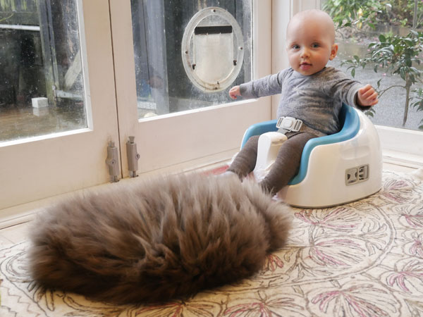 Siberian cat Farley at 2 years old, with Zain
