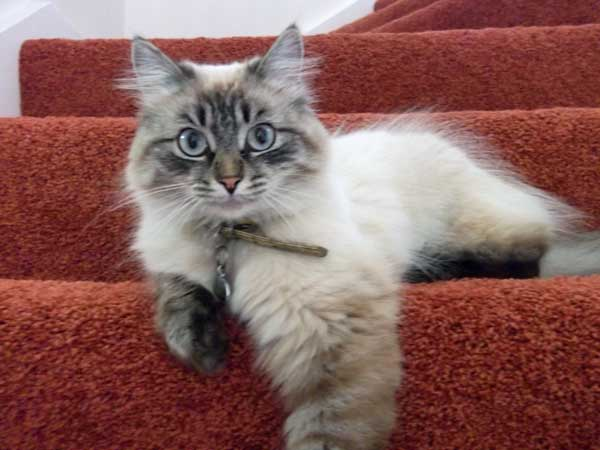 Siberian cat Bella at approximately 13 months old, February 2015