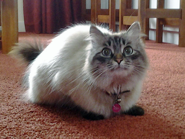 Sealpoint Siberian cat Bella on her 2nd birthda
