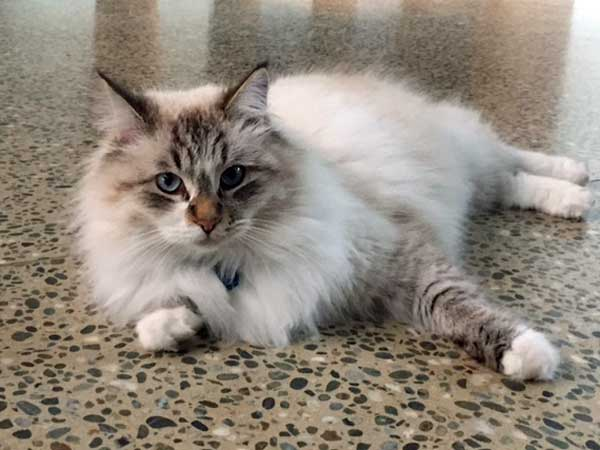 Siberian cat Foster, 30 June 2015