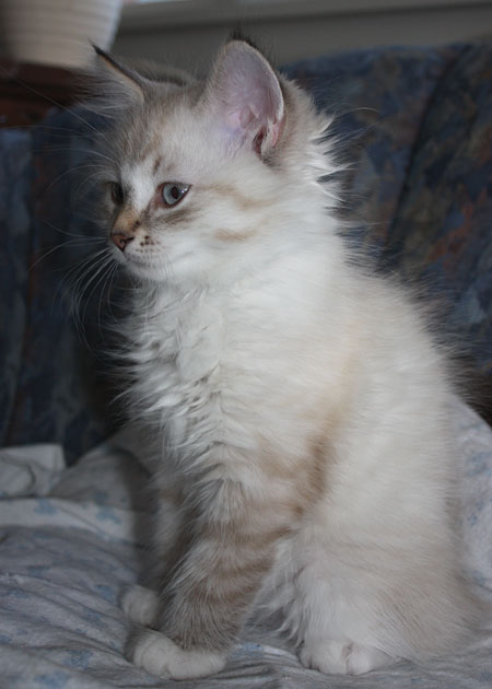 11-week-old male Siberian kitten Foster
