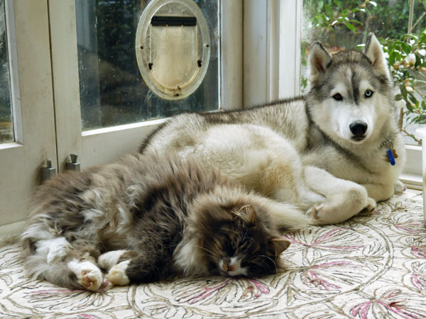 Siberian cat Farley at 2 years old, with Ada