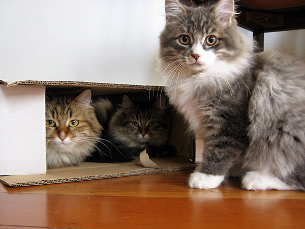 Siberian cat Cici with her sons Felix and Farley having fun in a box