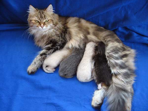 10-day-old Siberian kittens nursing