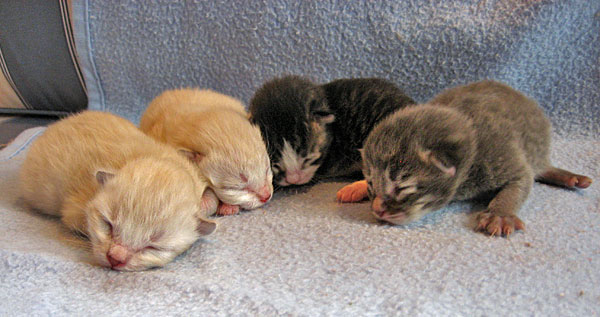 G Litter Siberian kittens at six days old