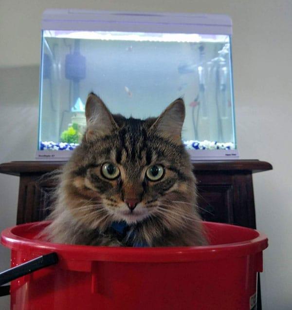 Siberian cat Lace