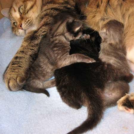 The H Litter Siberian kittens at 11 days old
