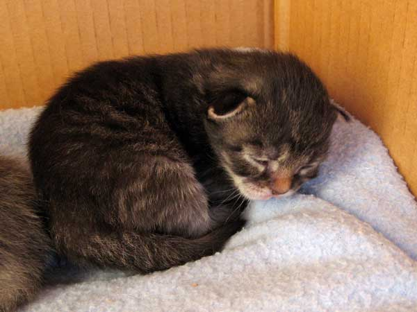 Black/brown tabby Siberian kitten at 11 days old