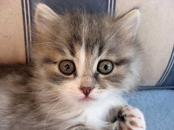 Siberian kitten Hollie at 38 days old, 20 Sept 2015