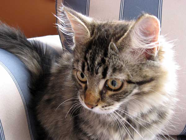 Siberian kitten Hana at 15 weeks old, on the day she left for her new home in Wellington, 29 Nov 2015