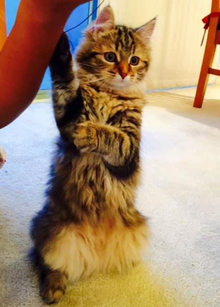 Siberian kitten Izzie