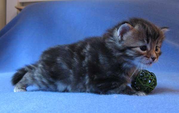 Siberian kitten Isabella at 25 days old, 19 Sept 2015