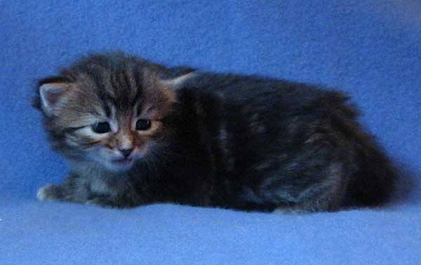 Siberian kitten Isabella at 25 days old, 19 Sept 2015