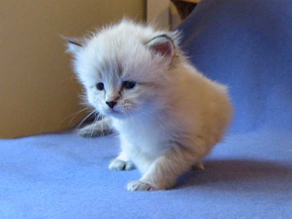 Siberian kitten Iggy at 25 days old, 19 Sept 2015