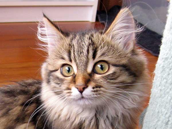 Siberian kitten Inka at 15 weeks old
