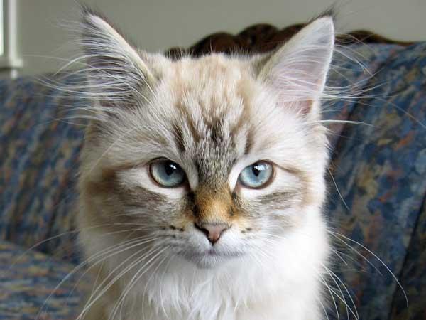 Siberian kitten Irina at 16 weeks old
