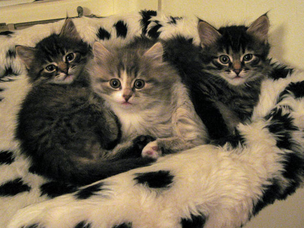 Siberian kittens Hanna, Hollie and Hoku at 6 weeks old