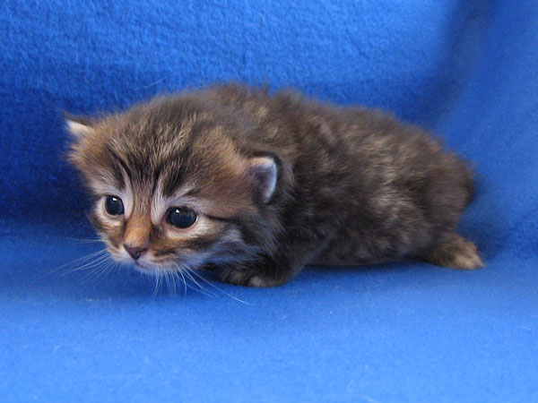 Female black/brown tabby Siberian kitten at 19 days old