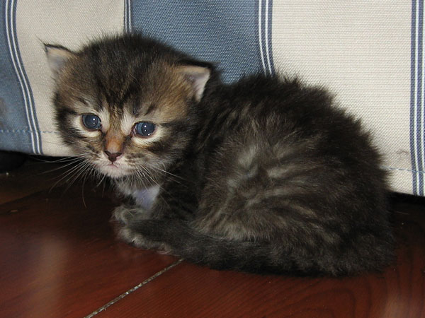 Female black/brown tabby Siberian kitten at 20 days old