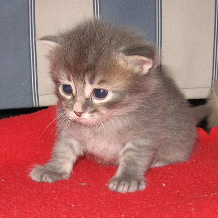 Male blue tabby Siberian kitten at 20 days old