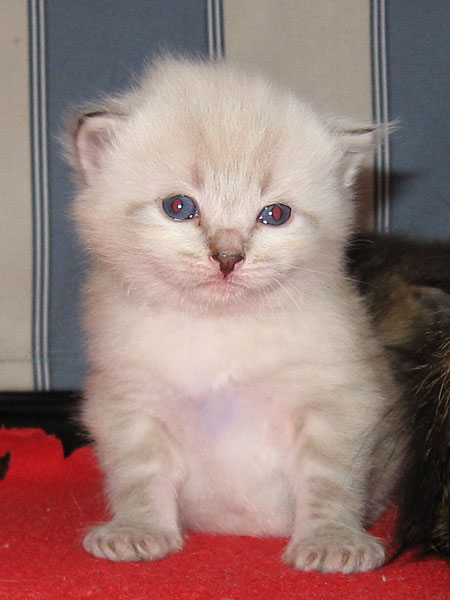 Male sealpoint Siberian kitten at 20 days old
